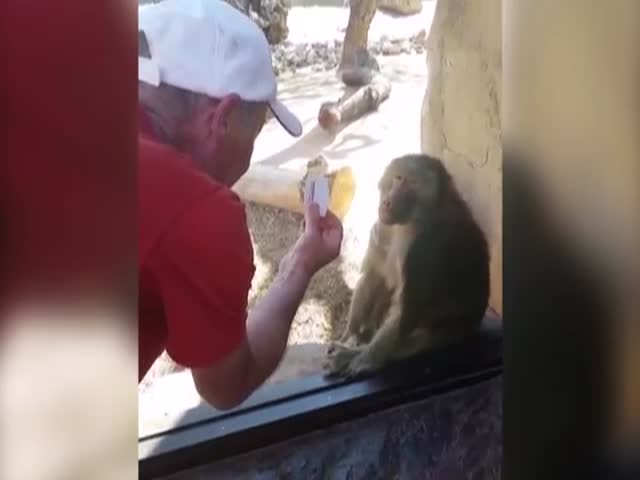 Baboon's Cool Reaction To A Card Trick