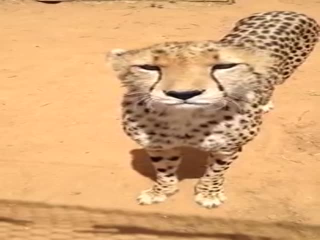 This Is How Cheetah Meows