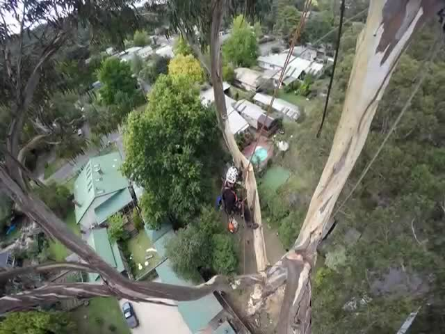 How A 40 Meter Tree Is Cut Down