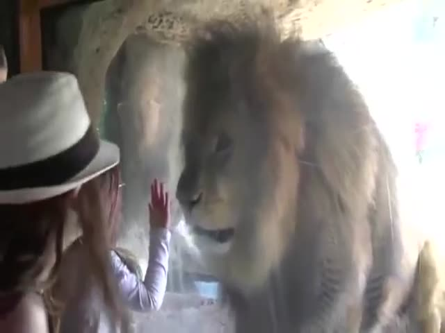Little Girl Kisses The Glass And This Is How The Lion Reacts To This