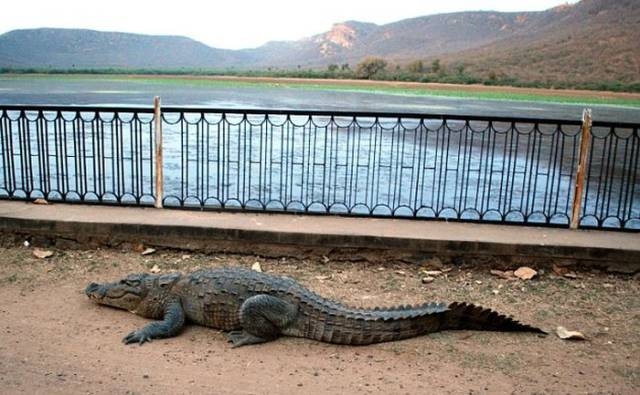 This Crocodile Is Ready For Anything To Go Home