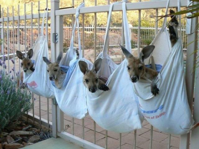 Man Saves Kangaroos In Australia And Nurses Them Back To Health