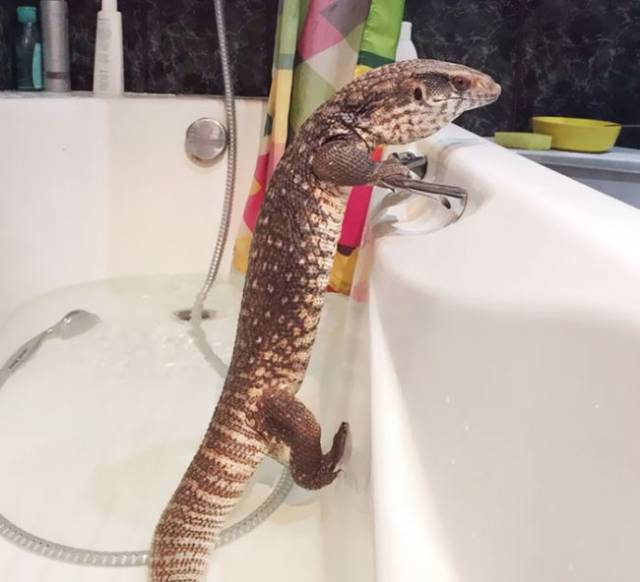 0 Apr Car >> It's Probably The World's Cutest Pet Lizard (15 pics + 2 gifs) - Izismile.com