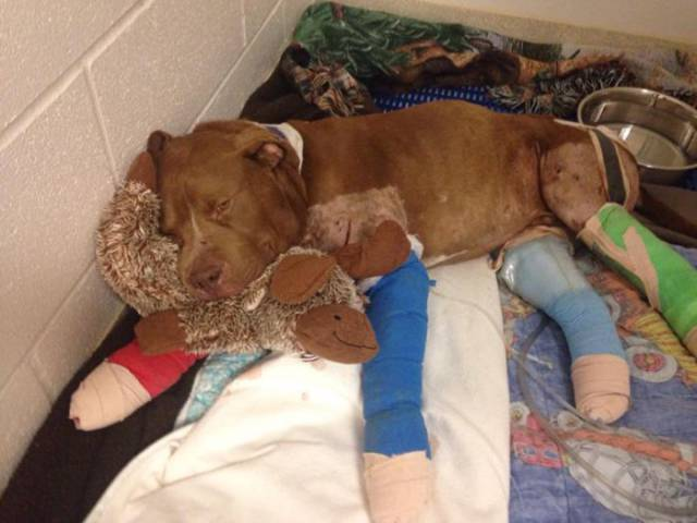 Injured And Abandoned Fighting Pit Bull Is On His Way To Recovery