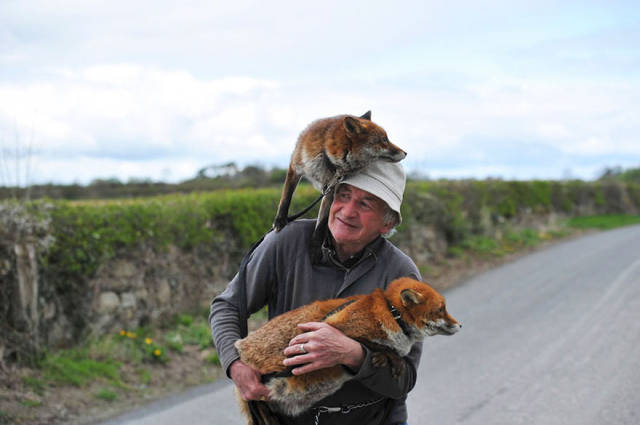 Man Nurses Two Foxes Back To Health And Now The Three Of Them Form A Pack