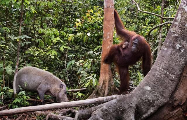 An Orangutan Fights Off A Boar Threatening Her Baby