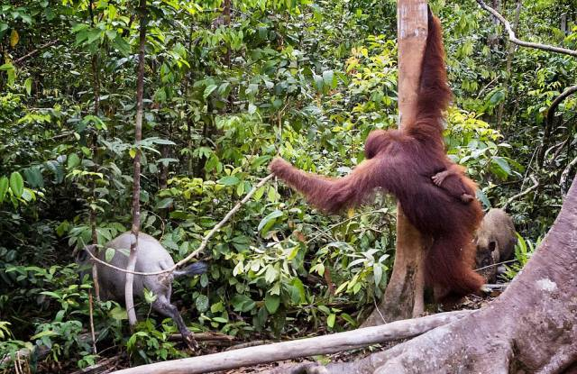An Orangutan Fights Off A Boar Threatening Her Baby