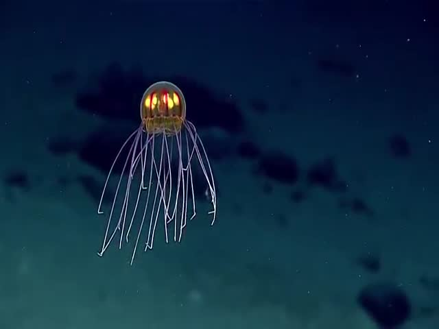 Amazingly Beautiful Jellyfish Looking Like An Alien Was Spotted Near The Mariana Trench