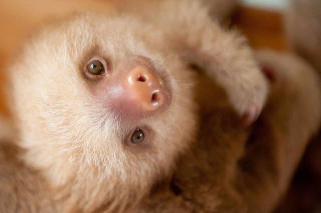 There Is Sloth Institute In Costa Rica That Takes Care Of Orphaned Sloths
