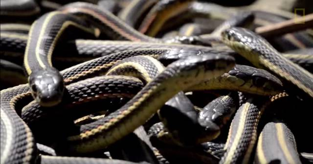 This Large Gathering Of Snakes Is Not A Sight For The Faint-Hearted
