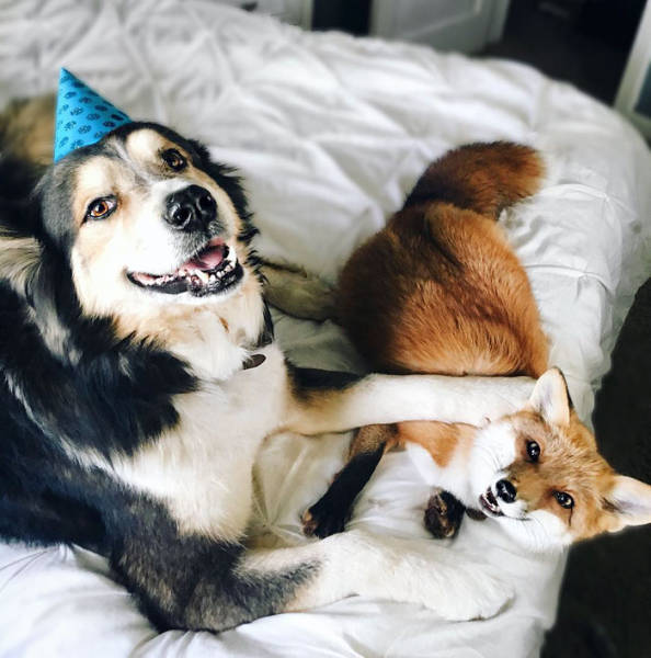 A Pet Fox And A Dog Are Best Buds Forever