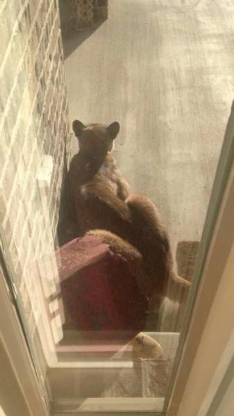 A Cougar Decided To Take A Nap On The Front Door Steps