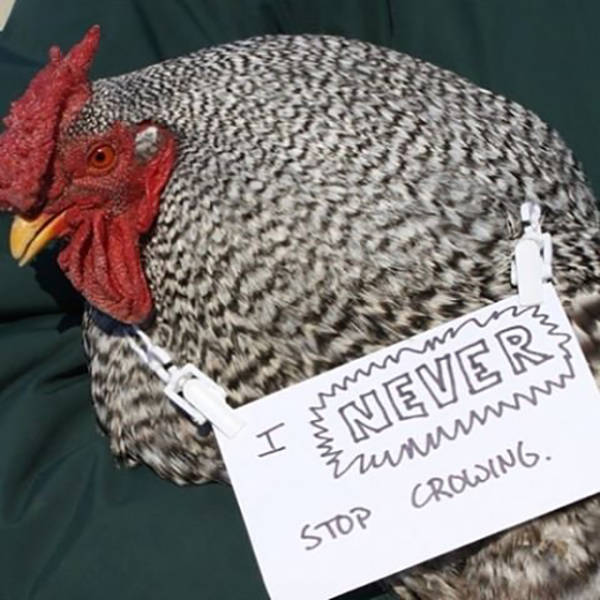 After Dog Shaming, Here Comes Chicken Shaming