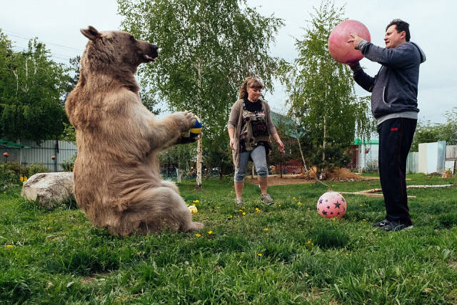 136 Kg Bear Lives In A Russian Family As A Pet