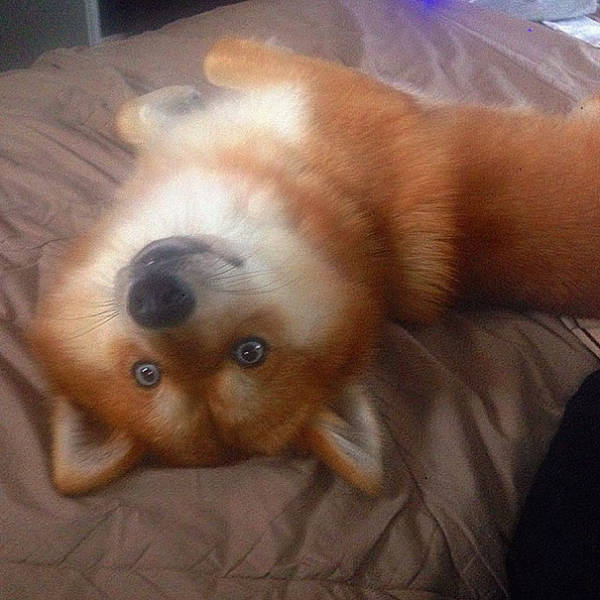 Meet Fox Dog, A Pomeranian-Husky Mix Who Is Taking The Internet By Storm