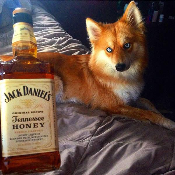 Meet Fox Dog, A Pomeranian-Husky Mix Who Is Taking The Internet By Storm