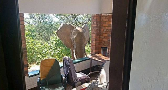 Wounded Elephant Escaped Poachers And Came To Look For A Rescue To A Safari Lodge