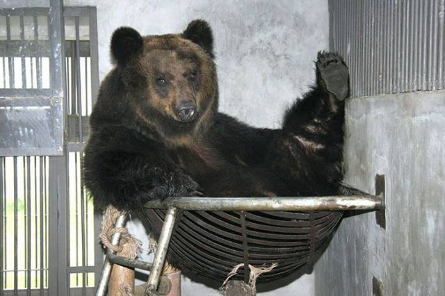 Brown Bear Finally Freed From A Metal Vest Around Her Abdomen
