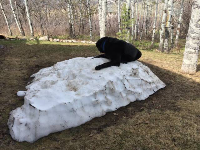 Black Lab Is Having A Hard Time Letting Winter Go