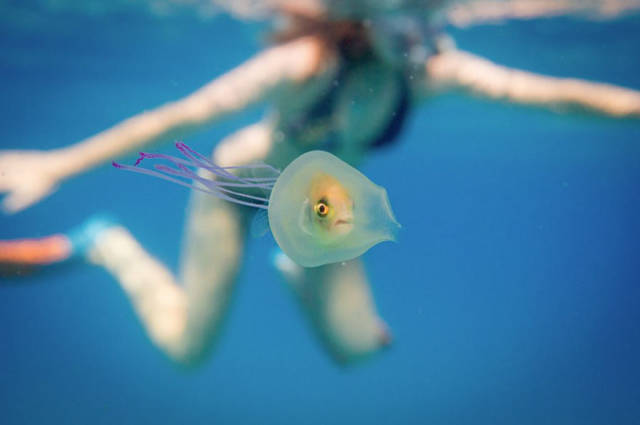 One Of A Kind Photo Shows A Fish Trapped Inside A Jellyfish