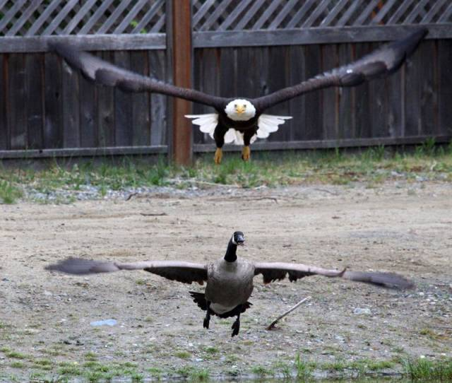 A Bald Eagle vs Canada Goose