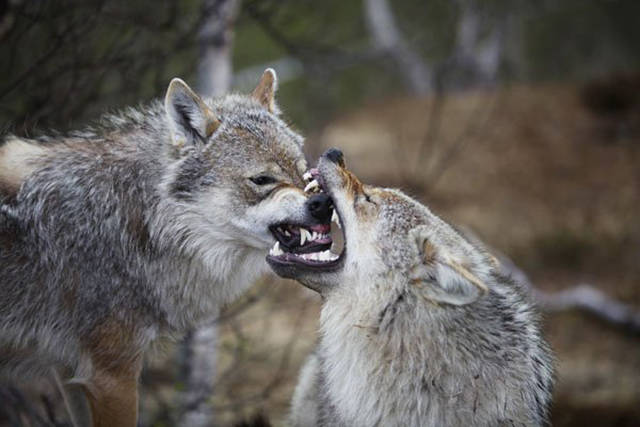 Who Has The Strongest Bite In The Animal Kingdom?