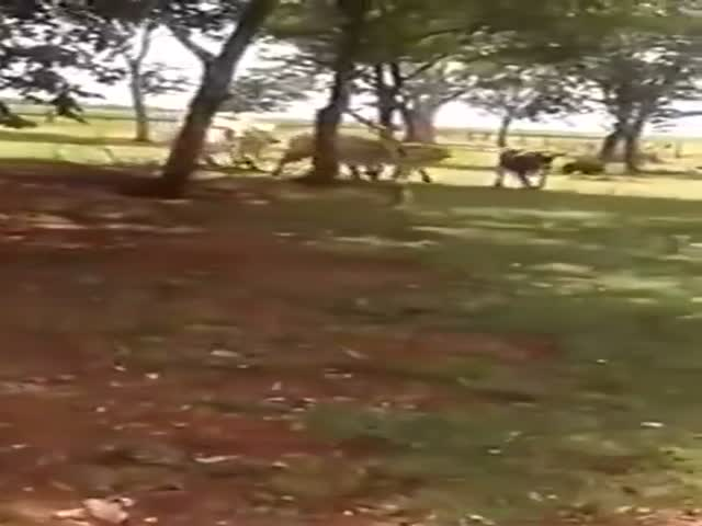 The Result Was Kinda Unexpected After A Cow Charged A Goat