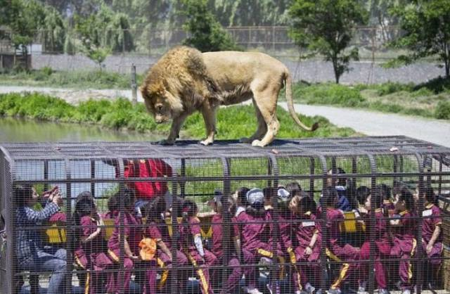 Normally Animals Are Caged In Zoos, But In This One – Visitors Are!