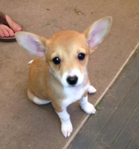 These Cute Corgi Mix Dogs And Puppies Will Melt Your Heart