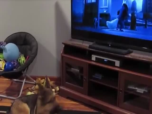 German Shepherd Watching Zootopia.There's Still A Little Wolf In Him