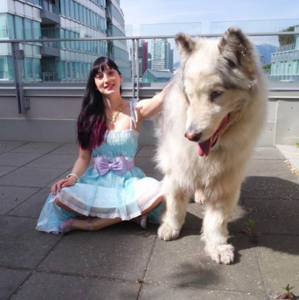 Wow, There's Actually A Real Direwolf Out There! Kind Of…