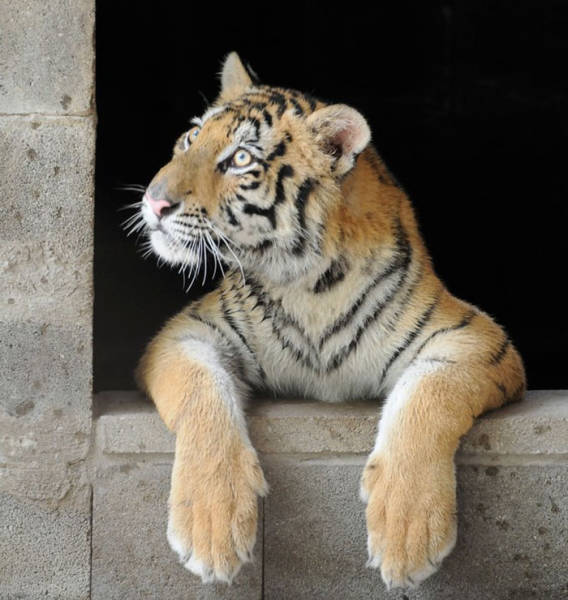 Amazing Recovery Of A Sick Tiger Cub Rescued From A Travelling Circus
