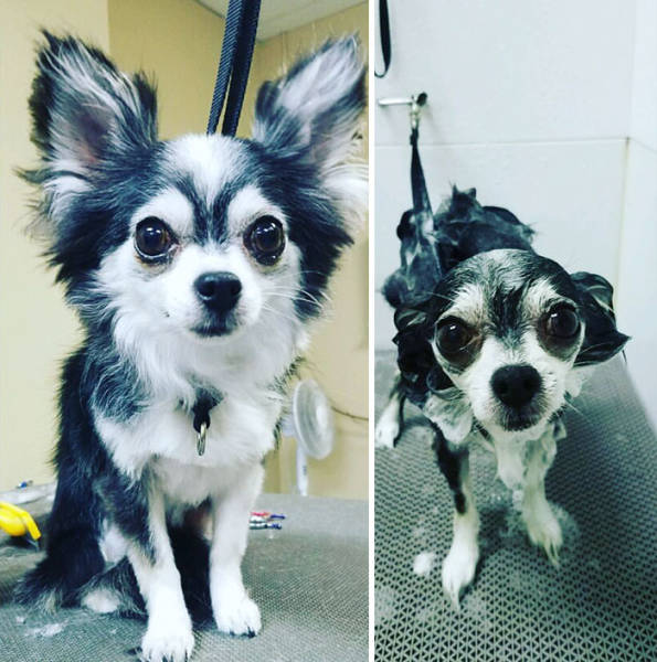Hilarious Photos Of Dogs Before And After A Bath