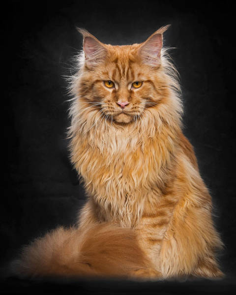 Majestic Photos Of The Largest Domesticated Breed Of Cats In The World