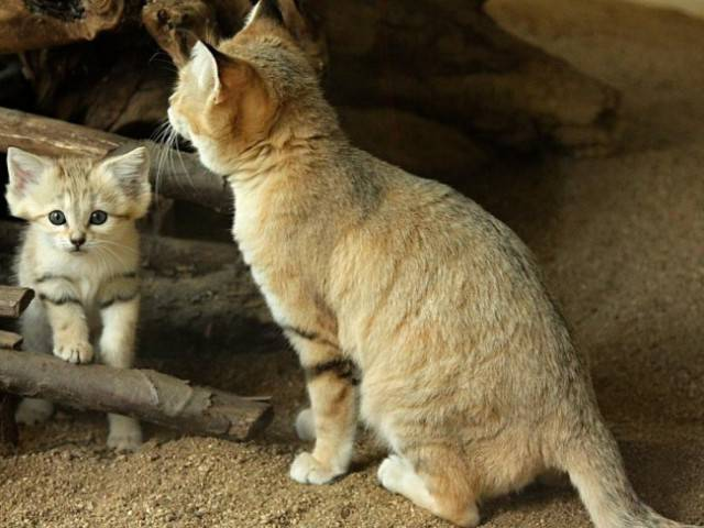 After 10 Years of Absence Arabian Sand Cat Is Back