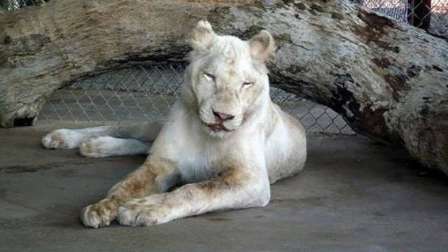 Abused Lion Almost Dies But Happily Her Life Takes A Turn For The Better