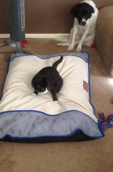 Poor Dogs Can't Do Sh!T When A Cat Invades Their Bed