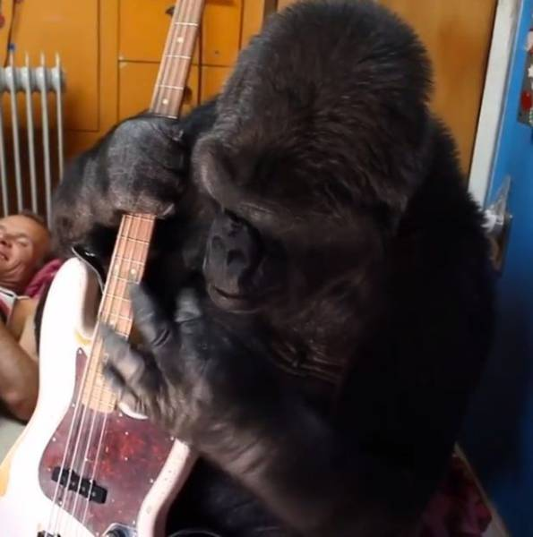 Bassist Of Red Hot Chili Peppers Befriended A Gorilla Named Koko