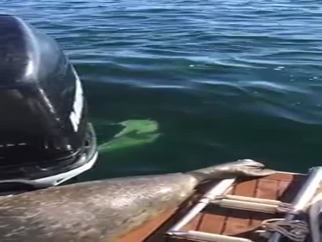 Seal Makes A Clever Move While Being Hunted By Orcas