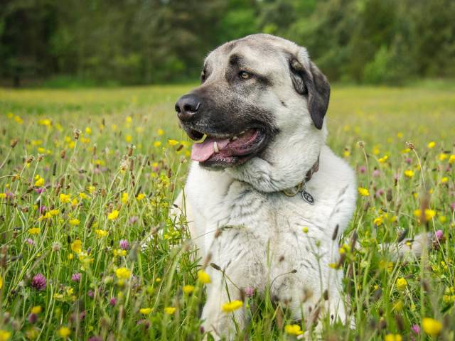 Ranking Of The Least Active Dog Breeds In America