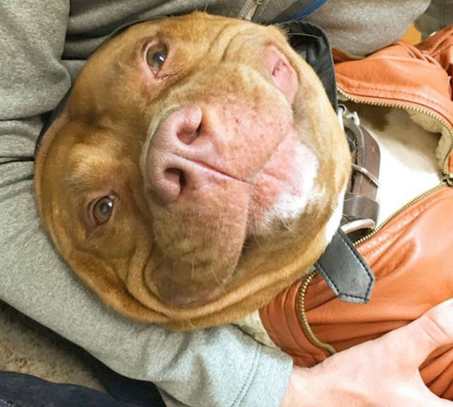 This Adopted Rescue Pit Bull Can't Stop Smiling
