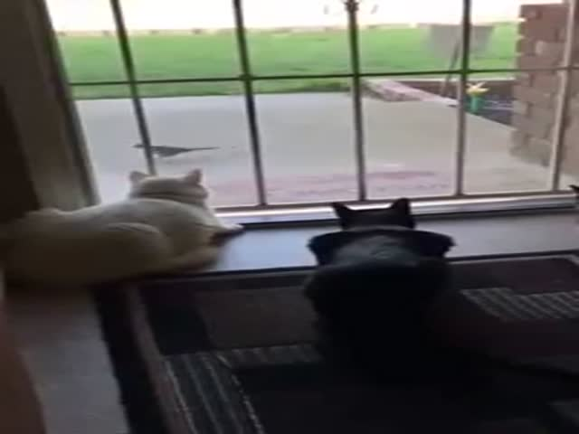 Dog Sneaks Up On Cats. Hilarity Ensues