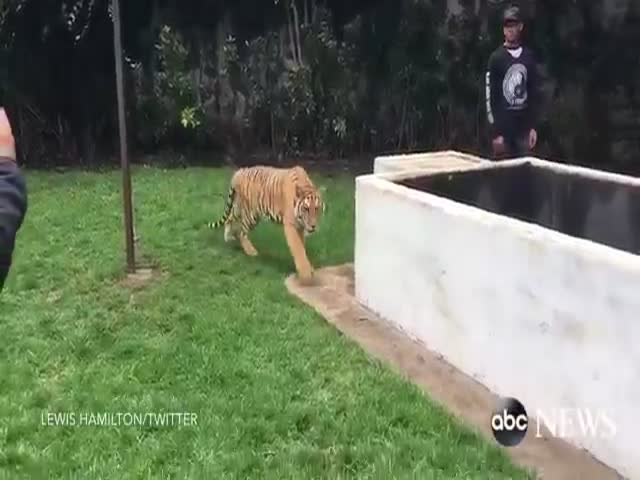 Lewis Hamilton Show Us How To Scare A Tiger