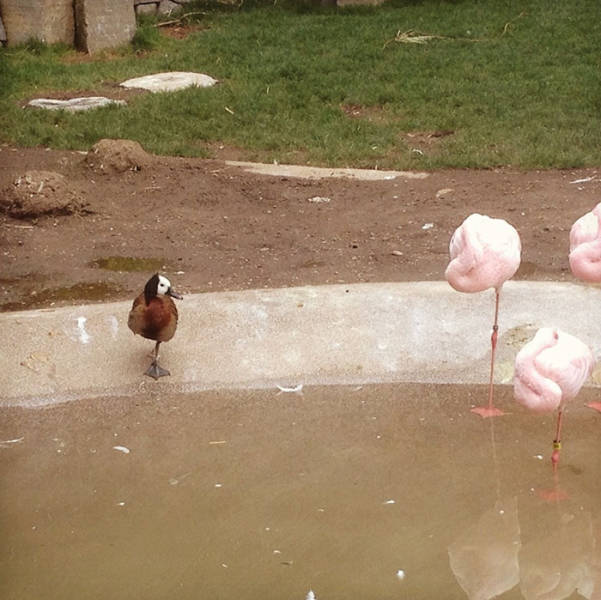 Somehow These Ducks Believe They're Flamingos