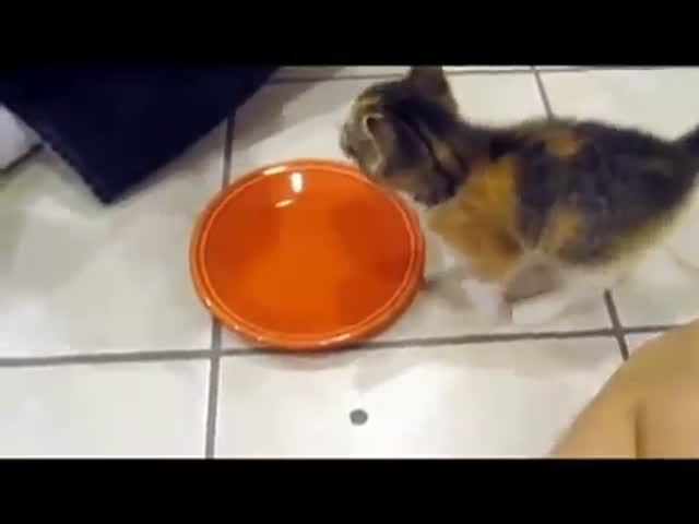 Little Kitten Is Very Protective Of Its Food In An Aggressively Cute Way