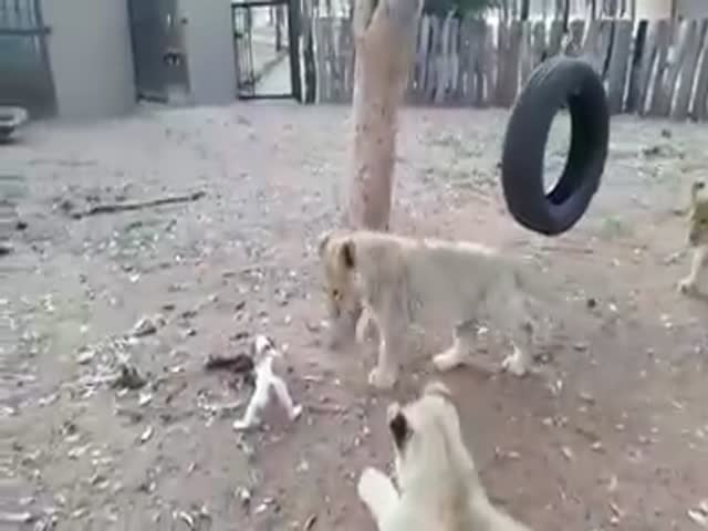 This Little Puppy Does Have Balls Of Steel