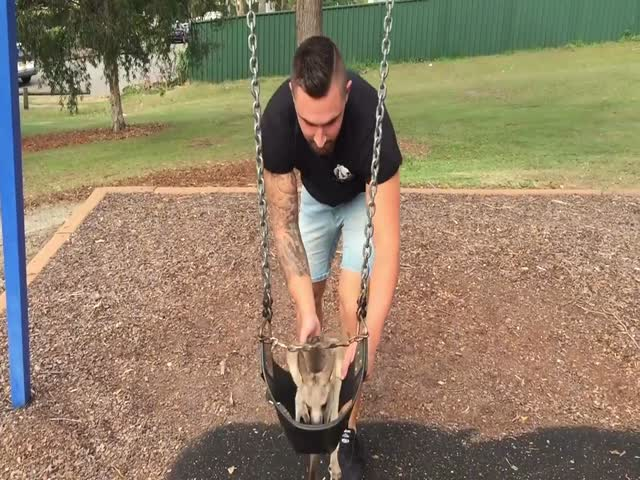 One Lucky Man Has A Pet Baby Kangaroo And Here Is What It's Like