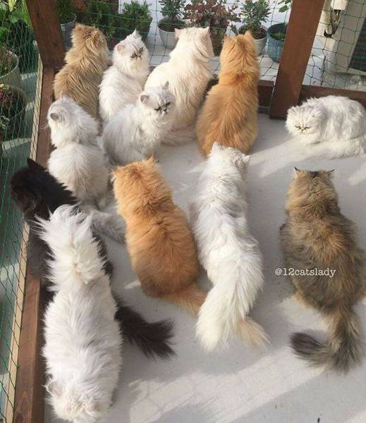 Instagram Is Going Crazy Over This Lady And Her 12 Persian Cats