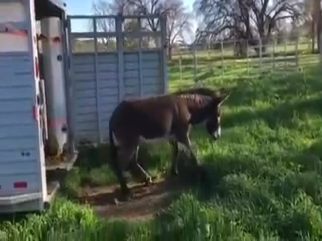 Reaction Of Arizona Donkeys Who See Green Grass For The First Time