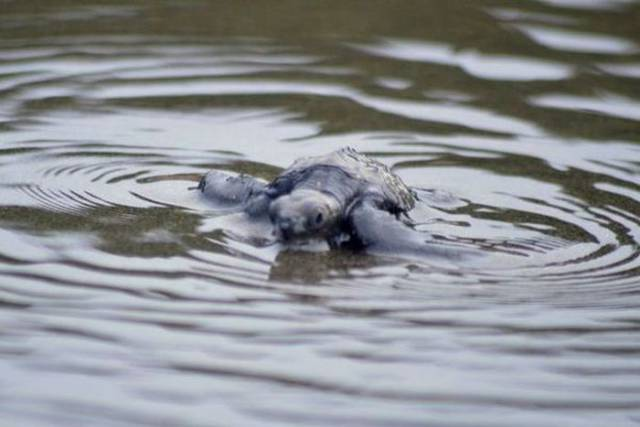Colombian Navy Rescued Hundreds Of Young Turtles